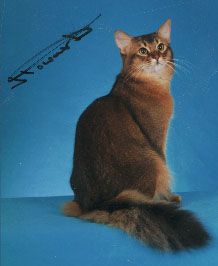 Somali Somalis Abyssinian Aby Breeder Show Longhaired Semi-longhaired History Genetics Colors